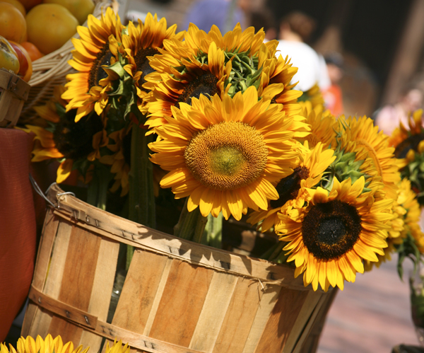 sunflowers in bushel basket